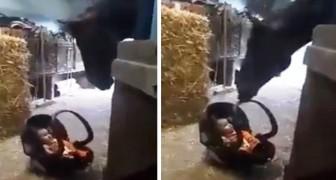 De tedere beelden van een enorm paard dat een kind in het autostoeltje wiegt
