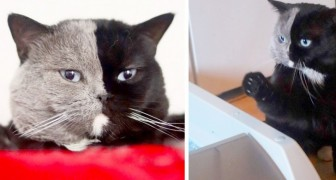 Den här katten heter Narnia och är en chimär - halva kroppen är svart och den andra är grå