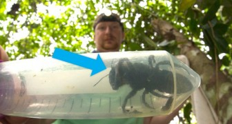 Si credeva estinta, ma l'ape più grande del mondo è stata ritrovata viva a 38 anni dalla sua scomparsa
