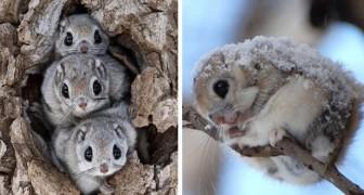 Das fliegende Eichhörnchen aus Japan ist wahrscheinlich eines der süßesten Tiere der Welt