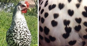 This hen with heart shapes on her feathers shows that nature knows how to surprise us in the most original ways