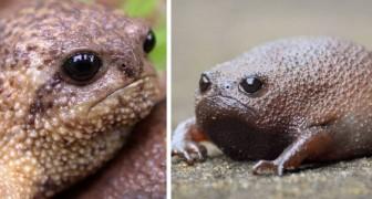 Con la sua espressione scontrosa, la rana della pioggia sembra essere l'animale più infastidito della Terra