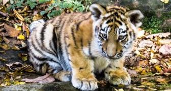 Goed nieuws voor de Bengaalse tijger die met uitsterven wordt bedreigd: in India zijn 11 welpen geboren
