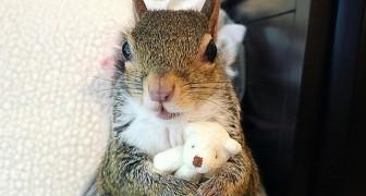 Salvata da un uragano, questa adorabile scoiattolina non si separa mai dal suo orsacchiotto