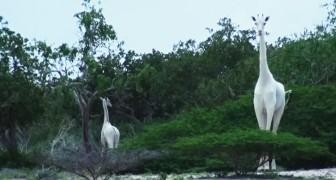 Twee volledig witte giraffen lopen tussen de bomen in Kenia: het is een zeer zeldzame gebeurtenis