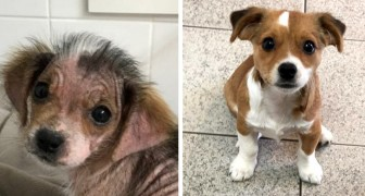Abandoned by its owners because it was sick, this puppy is now reborn thanks to the affection and care of a young woman