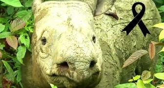 Il rinoceronte di Sumatra si è estinto in Malaysia: è morta Iman, l'ultima esemplare femmina