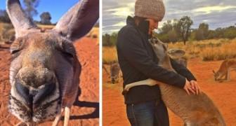 Jeden Tag umarmt dieses verwaiste Känguru die Freiwilligen des Tierheims, die vor 12 Jahren sein Leben gerettet haben