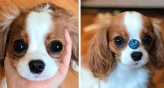 Este cachorrinho de dois anos é tão pequeno que ainda parece um filhote