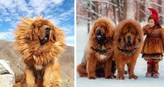 Deze 18 foto's laten zien dat de Tibetaanse Mastiff een van de grootste honden is die er zijn