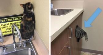 15 photos montrent les drôles de réactions des chats qui tentent de se cacher chez le vétérinaire