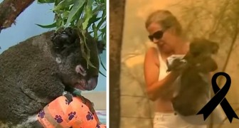 Adieu à Lewis, le koala sauvé des flammes n'a pas survécu : ses brûlures étaient trop étendues
