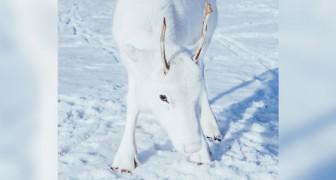 Questo raro cucciolo di renna bianca avvistato in Norvegia sembra un animale uscito da una fiaba