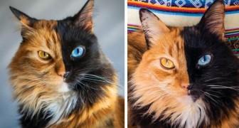 Ce chat est atteint de chimérisme, une maladie génétique rare : son museau est divisé en 2 moitiés de couleurs différentes