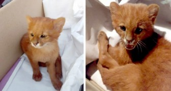 Elle sauve un chaton de la rue, mais après deux mois, elle découvre que c'est un petit puma