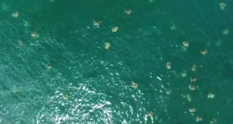 Un drone riesce a filmare un enorme raduno di tartarughe marine, uno dei più grandi mai documentati