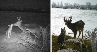 Dieser Hund ist von zu Hause weggelaufen, um zwei Tage mit einem Hirsch zu verbringen