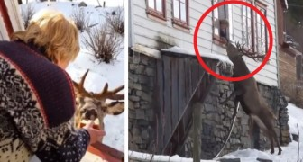 Every day this stag deer visits a lonely elderly lady and ​​a wonderful friendship is born