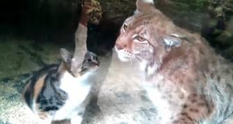 Un gatto randagio finisce per sbaglio nella gabbia di una lince: tra i due nasce un'amicizia inaspettata