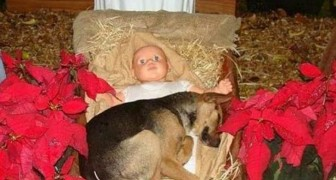 After being abandoned, a German shepherd puppy found refuge in a city's Christmas nativity display