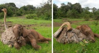El elefantito huérfano es llevado a un refugio donde encuentra el afecto de un avestruz que cree de ser un elefante