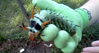 An awesome surprise in the garden: here comes the biggest caterpillar of north america