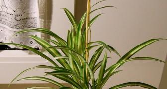 De Graslelie: ook bekend als spinnenplant, het is in staat om de lucht van giftige stoffen te zuiveren