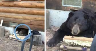 Eine Familie fand heraus, dass sich ein riesiger Bär direkt unter ihrem Haus einquartiert hatte