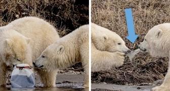 Un fotografo immortala due orsi polari che si contendono una bottiglia di plastica in Alaska