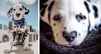 Wiley, le dalmatien né avec un cœur sur le museau qui est devenu une vraie célébrité