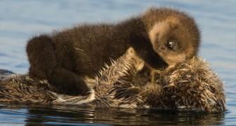 L'amore materno non ha limiti: questa dolce foto ritrae mamma lontra che protegge il suo cucciolo dal freddo