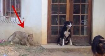 Qualquer um reagiria assim ao encontrar um leão!