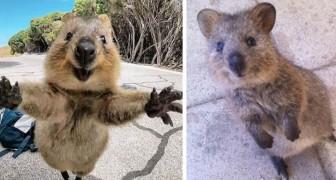 Les quokkas sont probablement les animaux les plus heureux sur terre et ces 17 photos le prouvent