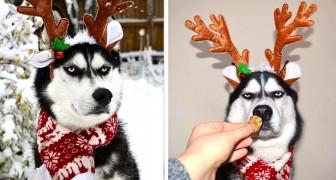Dieser Husky hat die Weihnachtsbilder ruiniert, indem er einen wirklich wütenden Ausdruck zeigte
