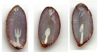 De oude boerentraditie die de winter voorspelt met bestek in kaki zaden