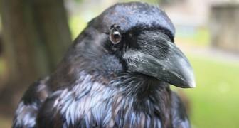 Kraaien koesteren wrok jegens hen die hen slecht behandelen en delen het ook met andere vogels: een studie onthult het