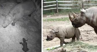 In questo zoo è nato il primo rinoceronte nero della Francia: una speranza per la sopravvivenza della specie