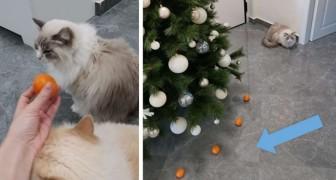 Son chat déteste les mandarines : sa maîtresse les utilise pour créer un bouclier protecteur pour le sapin de Noël