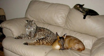 Salva um lince e um cervo de um incêndio: depois de poucos meses, eles já fazem parte da família