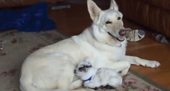 Een hond zorgt voor een geit en behandelt het alsof het haar pup is