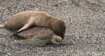 What do you do if you meet a sea turtle? This cub has a clear idea: give me a lift!
