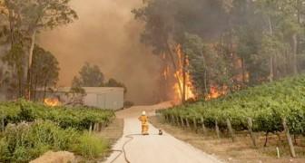 Een brandweerman en een koala kijken machteloos naar de vlammen die een wijngaard in Australië vernietigen