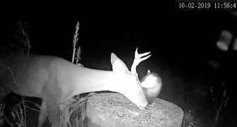 Fascinante symbiose animale : des photos montrent un opossum débarrassant un cerf des tiques