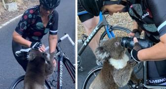 Een wanhopige koala klimt op de fiets van een vrouw om uit haar fles te drinken: de thermometer wijst 40°C aan