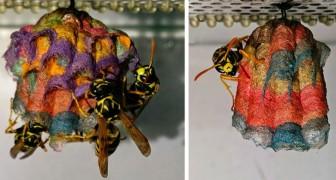 Il met à la disposition des guêpes du papier coloré : elles construisent des nids psychédéliques et arc-en-ciel