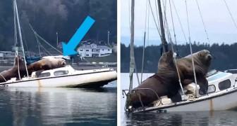 Een video legt de bijzondere scène vast van twee gigantische zeeleeuwen die aan boord van een boot uitrusten
