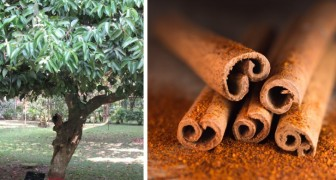 How to grow cinnamon at home and always have this fragrant spice available