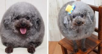 Sie bringen ihren Hund in einen Salon: Als sie ihn wieder abholen, brechen sie beim Anblick seiner neuen Frisur in Gelächter aus