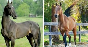 Les Akhal-Teke ou chevaux à la robe d'or sont considérés parmi les plus anciens et les plus élégants du monde