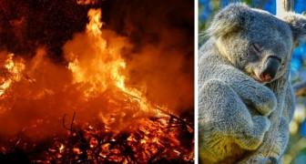 In Australië zouden de branden de oorzaak zijn van de dood van 480 miljoen dieren: dat onthullen onderzoekers